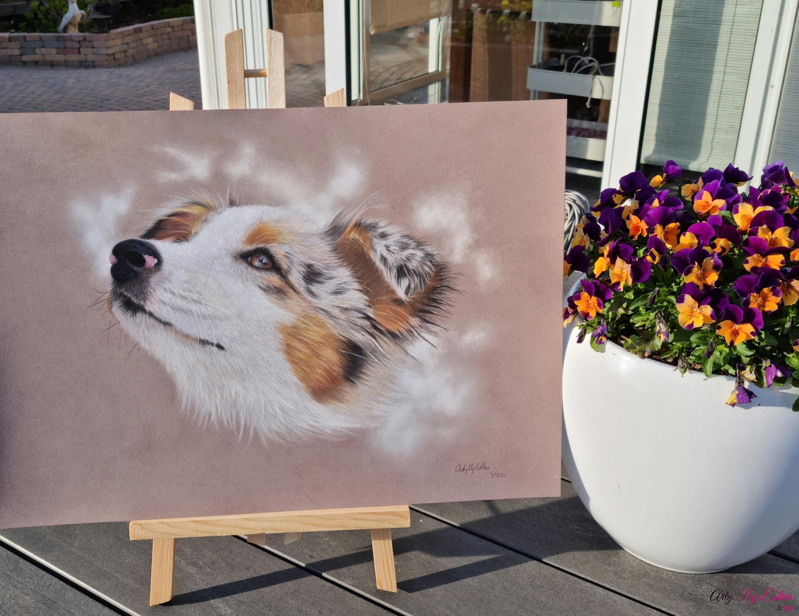Australian Sheperd Dog pastelpainting
